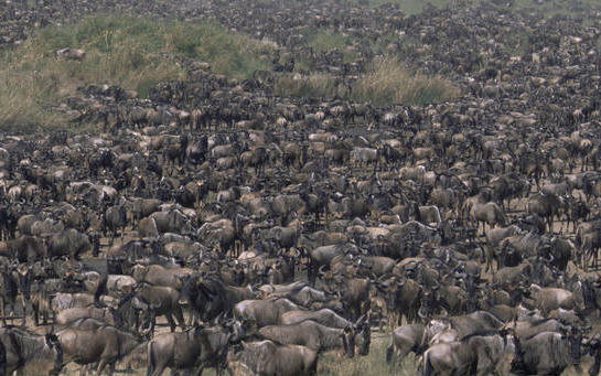 wildebeest migration safaris masai mara serengeti national parks