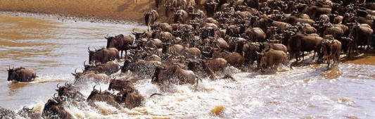 Great ,Annual Migration of wildebeest, national park, reserve,  masai mara, serengeti, kenya, tanzania safaris