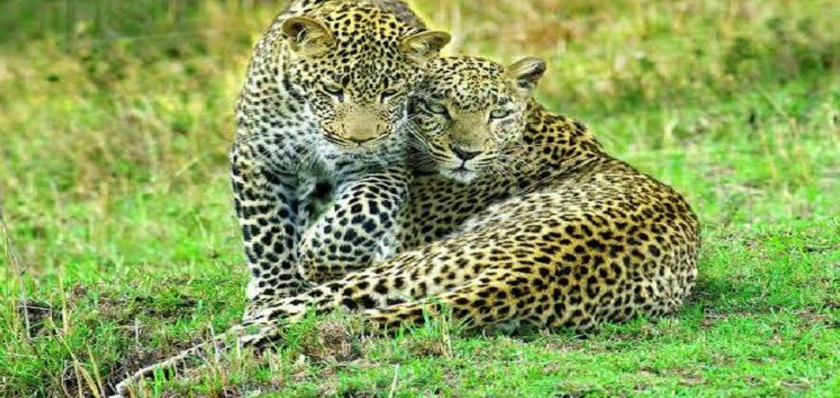 MAASAI MARA NATIONAL PARK LODGES, MAMMALS ACTIVITIES, WHAT TO SEE, WHAT TO SEE, LEOPARDS, CHEETAH, LIONS